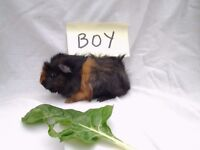 Baby Guinea Pigs four boys and one girl