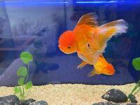 XL Oranda Fishes