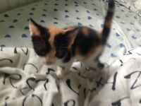 Beautiful kittens for sale ready now 2 tortois shell left
