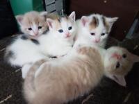 Kittens for sale **** £85 each****