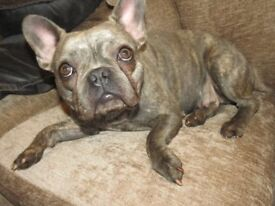 kc reg blue brindle adult female french bulldog . dna health tested