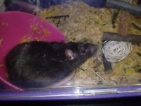 Young male rats