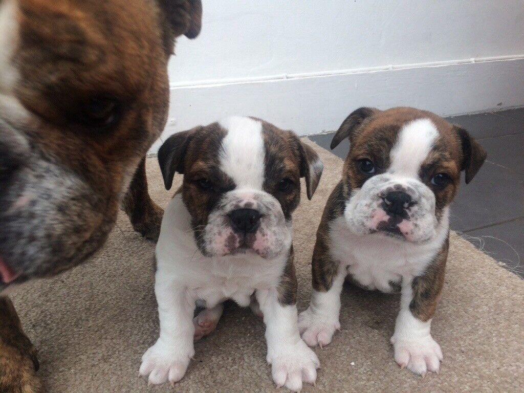English bulldog bitch pups