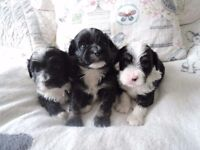 Tibetan Terrier/ Havanese puppies available