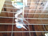 baby budgies all colors