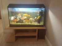 gold fish for sale incl fish tank and filter