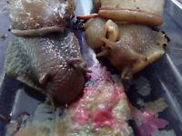Megalobulimus oblongus snails x2