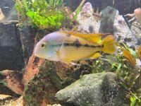 Cichlid Nicaraguan, Festivum male and female, Angelfish, Platies