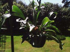 Staghorn Fern (Platycerium bifurcatum) House Plant