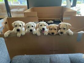 7 Labrador puppies