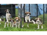 Harrier dog,beagle harrier puppy,puppys,puppiesSHOW potential,KC registered,champions bloodline
