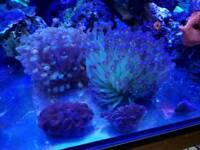Corals for marine aquarium