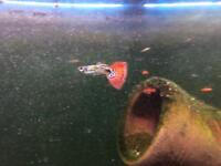 Guppy fry and fish for sale