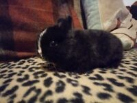 Netherland Dwarf Rabbits For Sale - COMES WITH CAGE