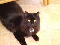 2 x 8month old black long haired kittens for sale near Fakenham, Norfolk.