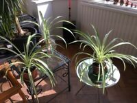 Wonderful Large Healthy Spider Plants only £2 each Collect Hook Roundabout KT9