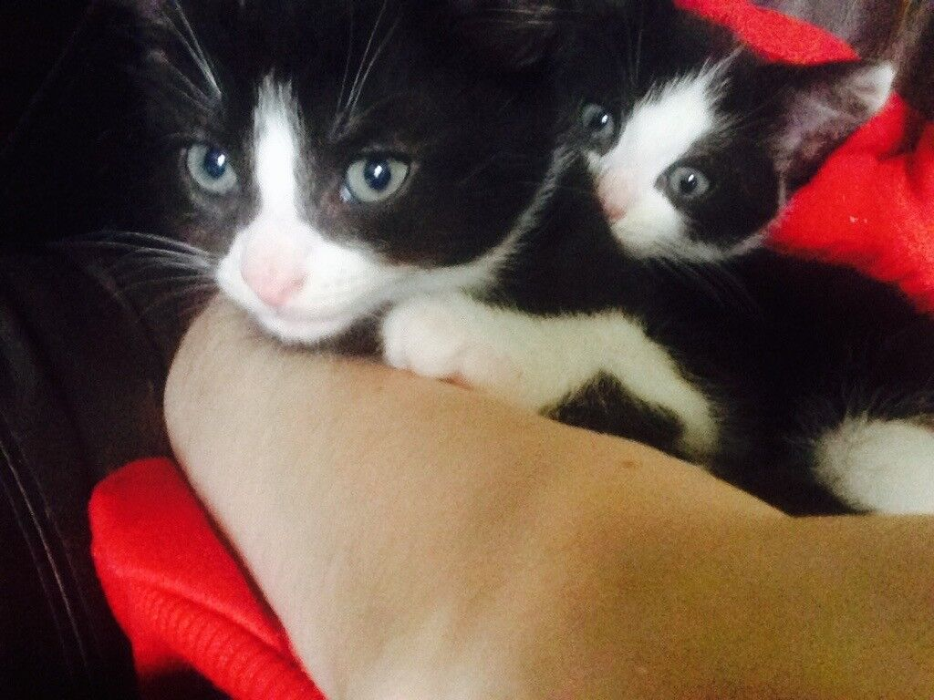2 male kittens (to be sold together)