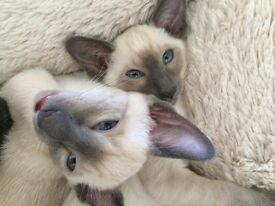 Siamese kittens, Blue point and Oriental Blue
