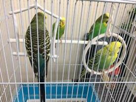 Budgies for sale 2 for £25
