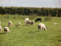 Wanted Grazing for 40 Sheep Near Staithes