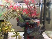 Tropical Fish - Zebra Danio & Lamp Eye - FREE
