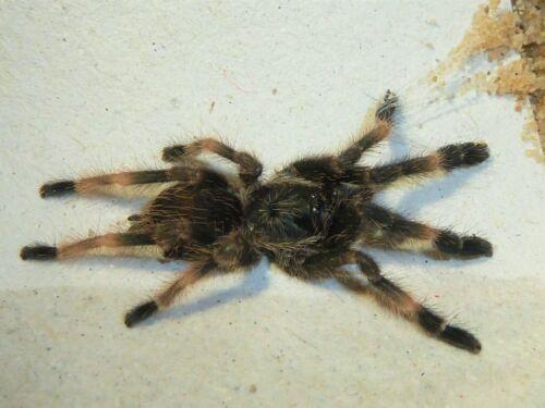 """Psalmopoeus Reduncus (Costa Rican Orange Mouth) Tarantula 2"""" Specimen"""