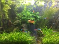 Working tropical aquarium with fish and shrimp - ready for a new owner!