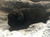 Gorgeous KC registered French Bulldog Puppies! Fantastic pedigrees, 5 star homes only!!