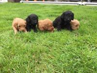Cockapoo puppies F2 toy