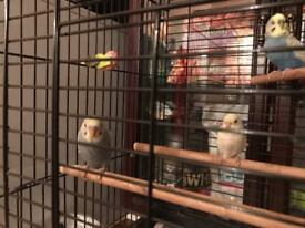 Fairly tamed budgies