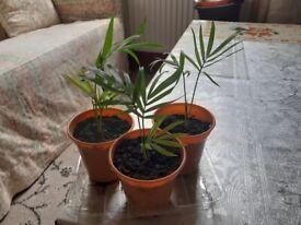 chamaedorea plant for sale