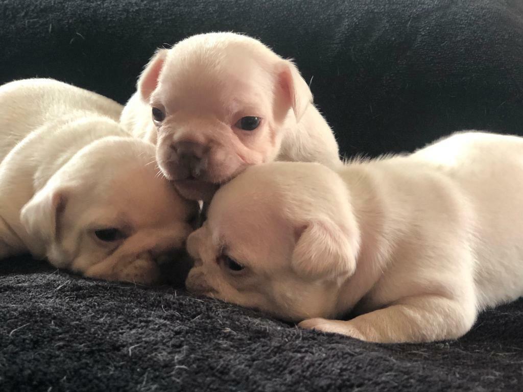 Stunning Platinum French Bulldog Puppies