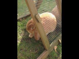 Buck mini lop rabbit