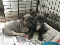 2beautiful French bulldogs left