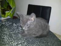 Beautiful kittens for sale (Only 1 remains)