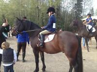 Reliable riding horse for sale