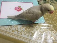 tame baby indian ringneck baby only 1.5 months old