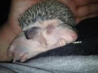 Baby hedgie's for sale