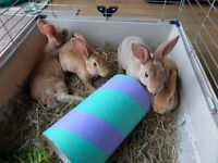 9 week old Red Rex Rabbits for sale £25 each. 1 female and 4 males.