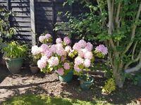 Rhododendron shrub plant Large bush evergreen