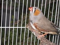 Mutation Male & Female Zebra Finches