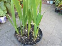 Plants for sale-Crocosmia plants in a 15 cm pot