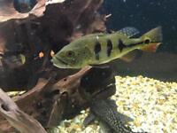 Peacock bass monoculous syno catfish
