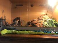 Bearded dragon and vivarium £25 to good home