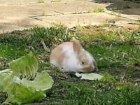 Lop Rabbit for sale