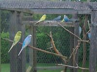 young budgies for sale male and female £15