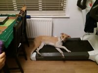 Lurcher whippet FREE to go