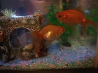 Starter Fish Tank + 2 Goldfish