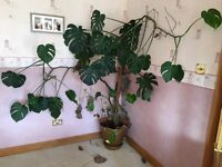 Large cheese plant