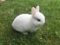 Pure blue eyed white netherland dwarf baby rabbit